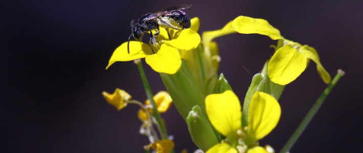 Pollination effectiveness in a generalist plant: adding the genetic component