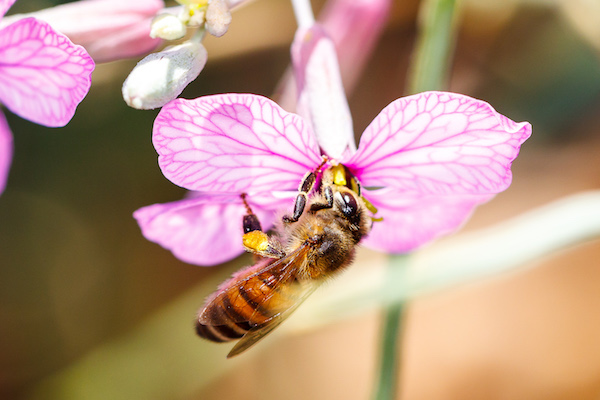 Bee pollinating a flower of M. nitens. Photo by F. Perfectti