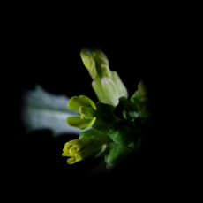 Anther rubbing – a new mechanism that actively promotes selfing in plants
