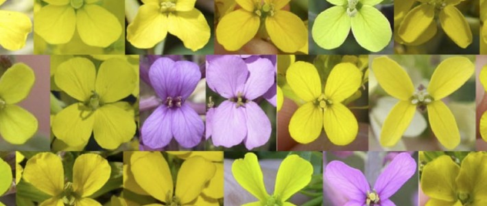 Role of pollinators in the evolution of corolla shape and color in Erysimum